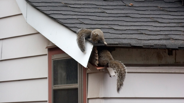 squirrels-in-attics.jpg